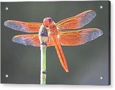 Smiling Dragonfly Acrylic Print by Melanie Beasley