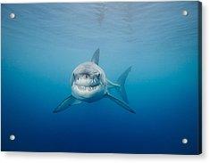 Smiling Great White Shark Acrylic Print