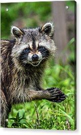 Smiling Raccoon Acrylic Print