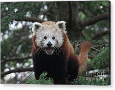 Smiling Red Panda #2 Acrylic Print
