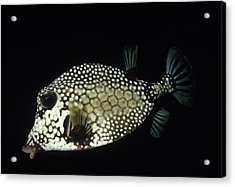 Smiling Smooth Trunkfish Acrylic Print by Don Kreuter