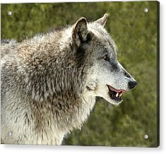 Smiling Wolf Acrylic Print