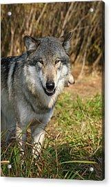 Smiling Wolf Acrylic Print
