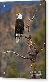 Smith Rock Bald Eagle Acrylic Print by Adam Jewell