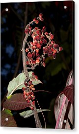 Smooth Sumac Flower Acrylic Print by Robert Morin