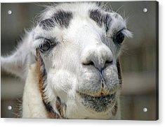Smug Llama Acrylic Print