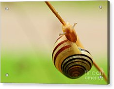 Snail  Acrylic Print by Joe  Ng
