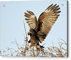 Snail Kite Coming In Acrylic Print