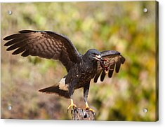 Snail Kite With Crab In Pantanal Acrylic Print