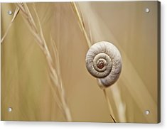 Snail On Autum Grass Blade Acrylic Print by Nailia Schwarz