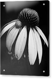 Acrylic Print featuring the photograph Snail by Sharon Jones