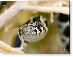 Snake Acrylic Print by Andre Goncalves