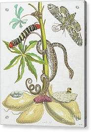 Snake, Caterpillar, Butterfly, And Insects On Plant Acrylic Print by Maria Sibylla Graff Merian