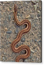 Snake Crossing Acrylic Print by Shannon Gresham