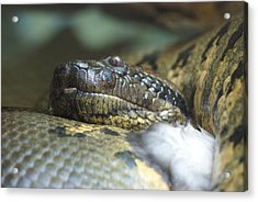 Acrylic Print featuring the photograph Snake by Heidi Poulin