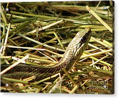 Snake In The Grass Acrylic Print by Deborah Johnson
