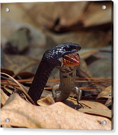 Snake With Meal Acrylic Print by Aaron Rushin