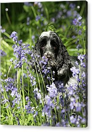 Sniffing Bluebells Acrylic Print