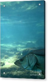 Snook Face Acrylic Print