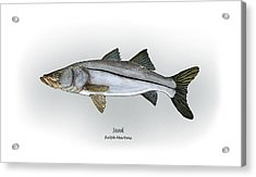 Snook Acrylic Print by Ralph Martens