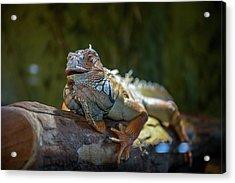 Snoozing Iguana Acrylic Print