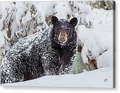 Snow Bear Stare Acrylic Print