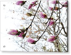 Snow Capped Magnolia Tree Blossoms 2 Acrylic Print by Andee Design