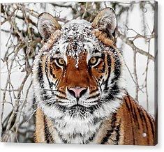 Snow Capped Siberian Acrylic Print