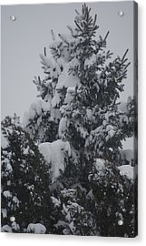 Snow Covered Pine Acrylic Print by Heather Green