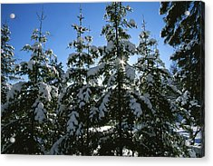 Snow-covered Pine Trees Acrylic Print by Taylor S. Kennedy