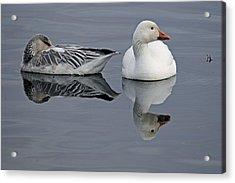 Snow Geese At Bosque Acrylic Print