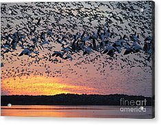 Snow Geese At Sunset Acrylic Print