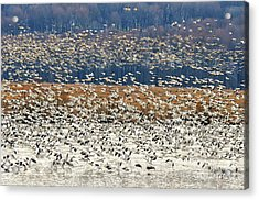 Acrylic Print featuring the photograph Snow Geese At Willow Point by Lois Bryan
