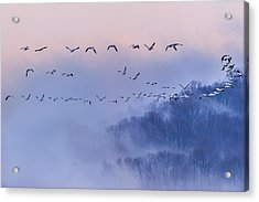 Snow Geese Acrylic Print