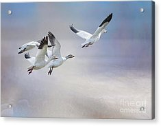 Snow Geese In Flight Acrylic Print by Bonnie Barry