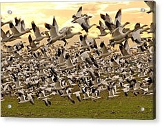 Snow Geese In Flight Acrylic Print