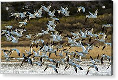 Snow Geese Flock In Flight Acrylic Print