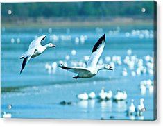 Snow Geese Acrylic Print by Jerry Weinstein