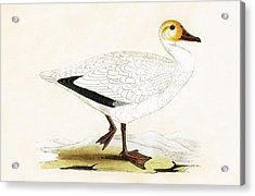 Snow Goose Acrylic Print by English School