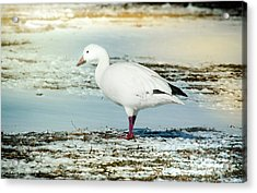 Acrylic Print featuring the photograph Snow Goose - Frozen Field by Robert Frederick
