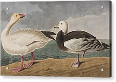 Snow Goose Acrylic Print by John James Audubon