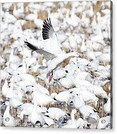 Snow Goose Lift-off Acrylic Print