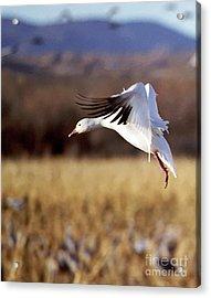 Snow Goose Acrylic Print by Steven Ralser