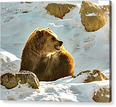 Snow Growl Acrylic Print