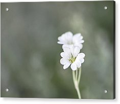 Snow In Summer Acrylic Print