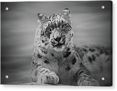 Acrylic Print featuring the photograph Snow Leopard  Bw by Sandy Keeton