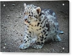 Snow Leopard Cub Acrylic Print by Terry DeLuco