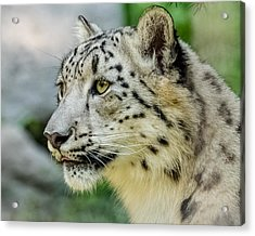 Snow Leopard Portrait Acrylic Print by Yeates Photography