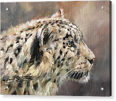 Snow Leopard Study Acrylic Print by David Stribbling