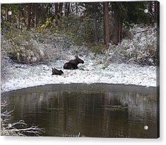 Snow Moose Acrylic Print